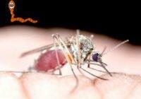 малярийные плазмодии в организме