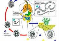 этапы развития аскариды в организме человека