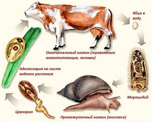 цикл развития печеночных сосальщиков