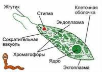 Жгутиковые паразиты человека, вызываемые ими заболевания, симптомы, профилактика и лечение