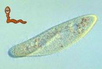Инфузории — ресничные паразиты в организме человека, заражение и лечение